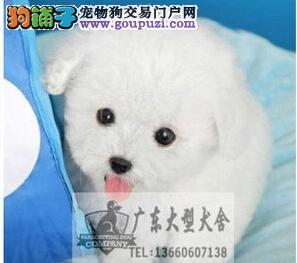 广东大型养狗基地 比熊犬广州比熊多少一个哪里有卖