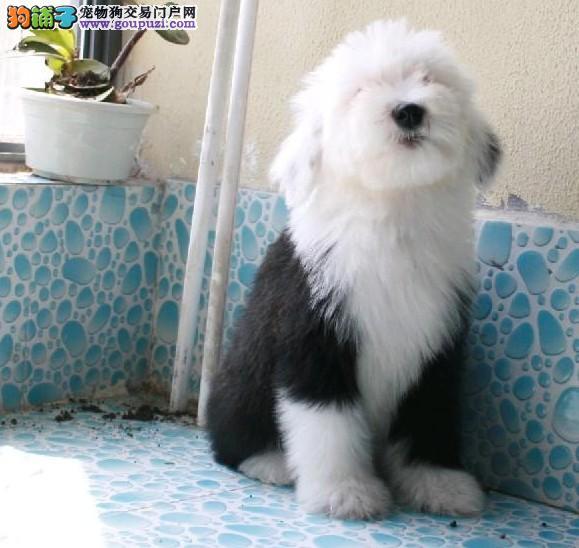 出售纯种古牧幼犬*白头齐肩通背*四蹄踏雪*纯种健康