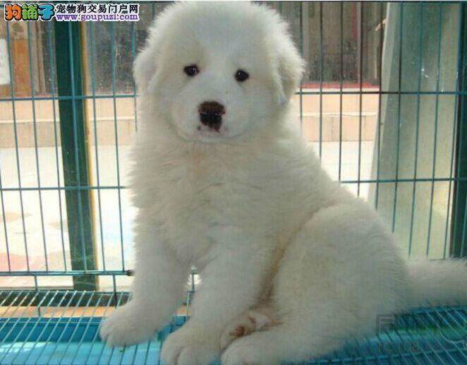 纯种大骨量 大白熊幼犬 王者风范 品相纯正价格合理