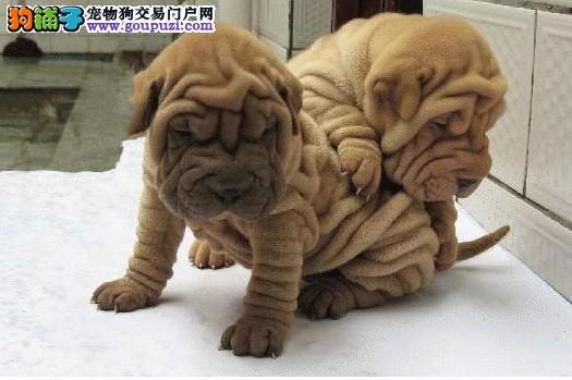 赛级沙皮狗宝宝、国际血统品质保障、购犬可签协议