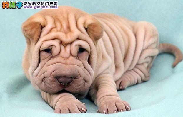 沙皮狗武汉最大的正规犬舍完美售后微信看狗真实照片包纯