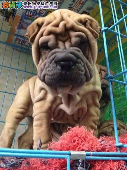犬舍专业繁殖高品质沙皮 你的不二选择