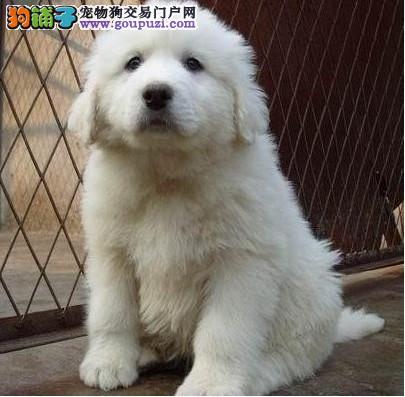法国纯种大白熊幼犬出售