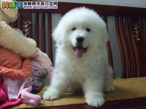 外观像雪獒性格温顺护主大白熊 可上门挑选 可刷卡