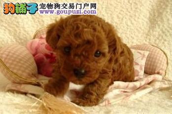 简述泰迪犬的优缺点与饲养的必要性5