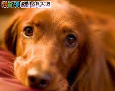 讲述金毛犬母犬临产的征兆与产前知识5