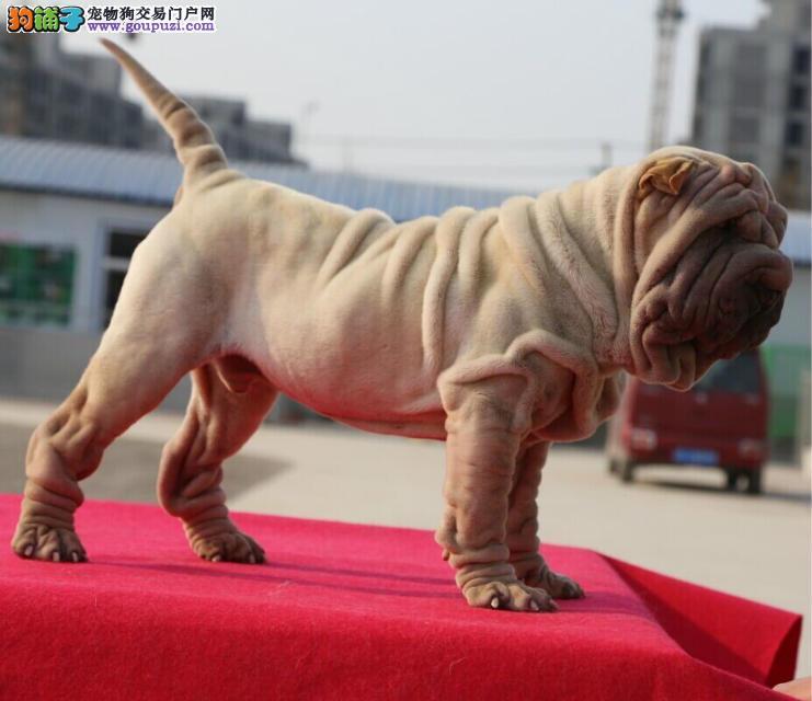 精品沙皮纯种沙皮犬 包养活签订协议 骨骼大 公母都有