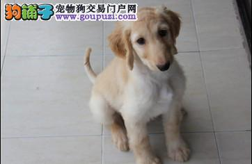 呼和浩特CKU认证犬舍出售高品质阿富汗猎犬签订终身协议