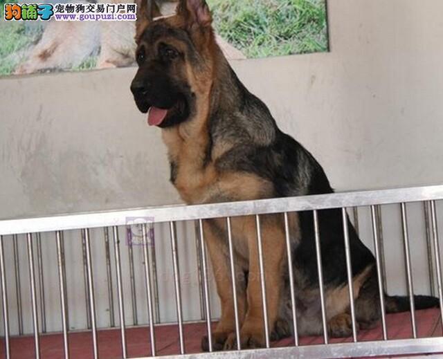 出售多只优秀的昆明犬大连可上门欢迎您的指导