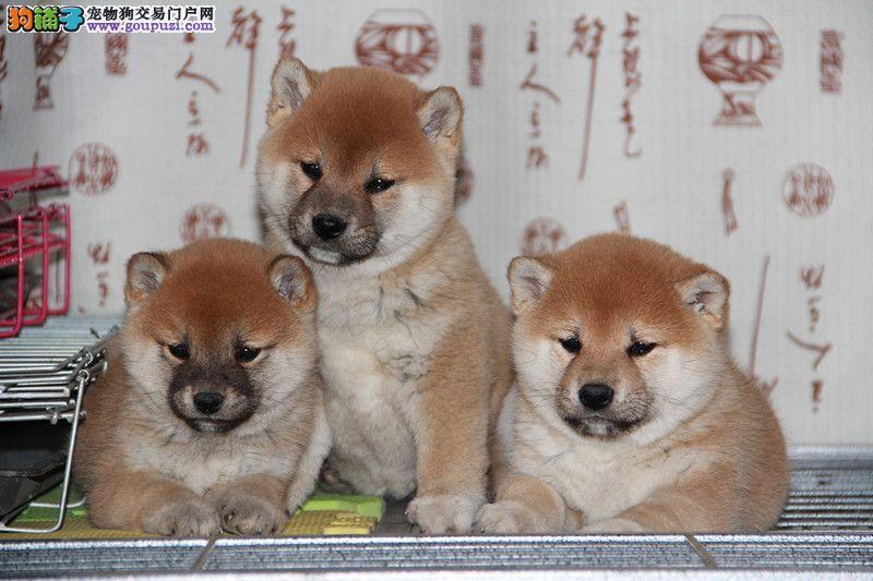 纯种柴犬 CSV认证血统 买狗狗送全套宠物用品