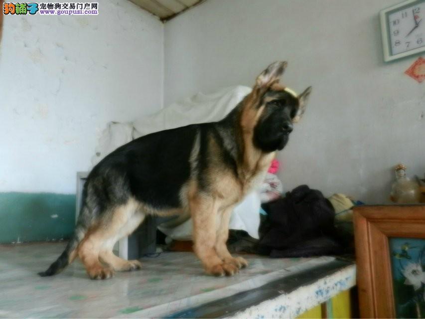 基地出售一窝瓦尔特和黑神后代大狼狗 无实力勿扰