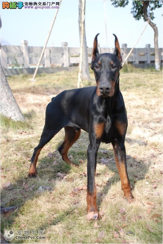 买杜宾幼犬 纯种杜宾幼犬出售 血统纯种 健康有保障