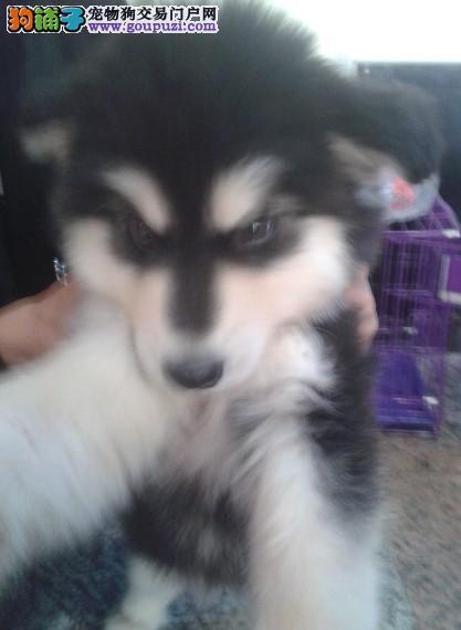 贵州买狗、卖狗、兴义哪里出售纯种阿拉斯加幼犬