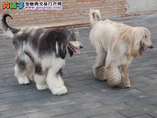权威机构认证犬舍 专业培育阿富汗猎犬幼犬可直接微信视频挑选