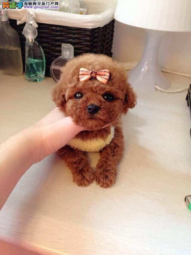 茶杯犬,合肥哪里有卖茶杯泰迪,茶杯泰迪幼犬