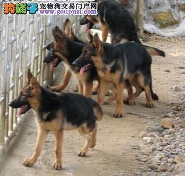 狼狗幼犬出售。合肥纯种狼狗多少钱。警犬狼狗