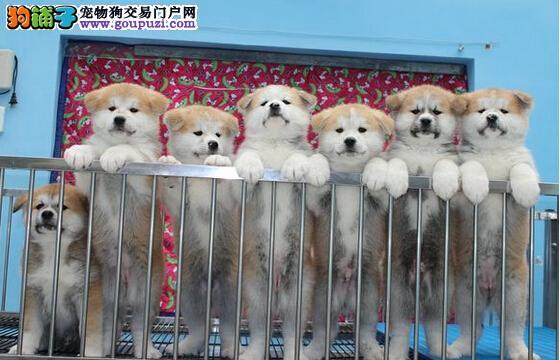 成都哪里的秋田犬好 成都最好的秋田在哪里 成都秋田犬