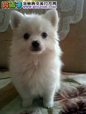 福州出售银狐犬公母都有品质一流可直接视频挑选