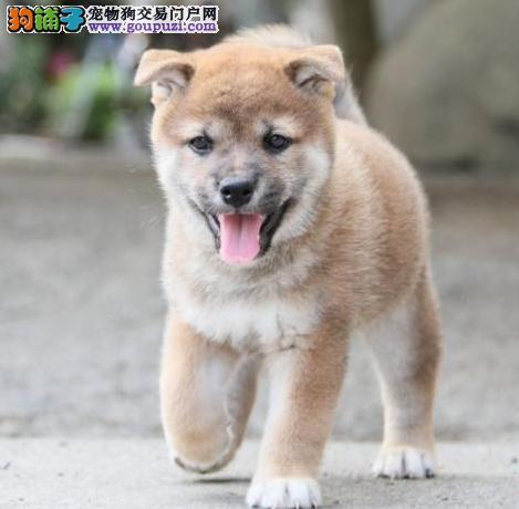 世界上最忠诚的犬 出售纯种健康的柴犬幼犬 活泼靓丽