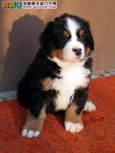长沙伯恩山犬可以去哪里购买 长沙健康的伯恩山哪里有