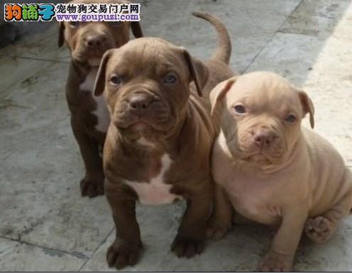 福州CKU认证犬舍出售高品质比特犬我们承诺终身免费售后