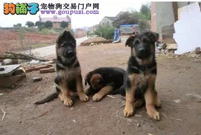 长沙狼狗可以去哪里购买 长沙健康的狼狗哪里有出售