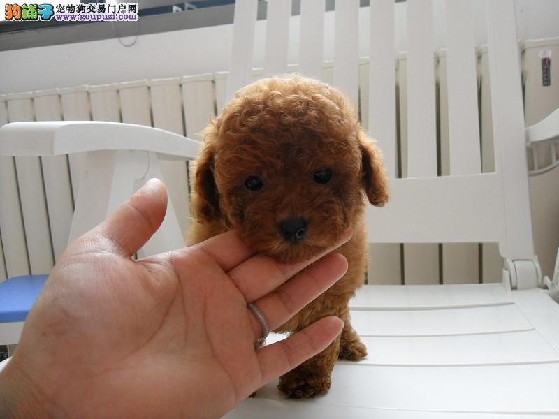 茶杯泰迪犬的价格 哪里可以买到健康的茶杯泰迪犬