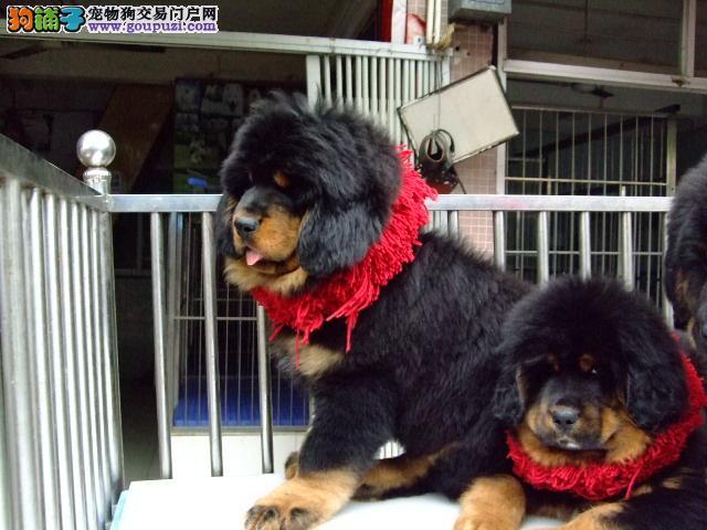 藏獒幼犬好不好养 买大型犬只到哪个狗场买有保障