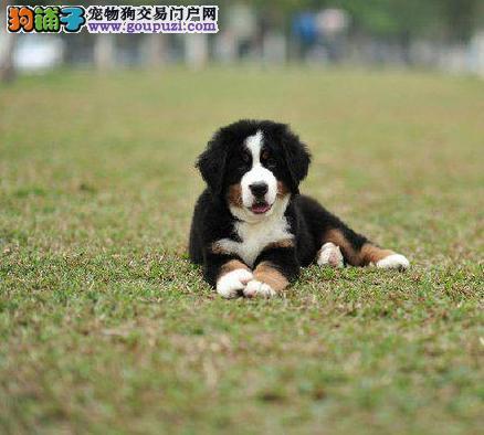伯恩山直销 纯种赛版伯恩山出售 图片均实物狗狗