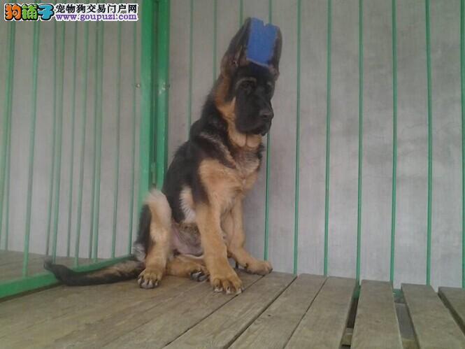 苏州热销昆明犬颜色齐全可见父母苏州周边免费送货
