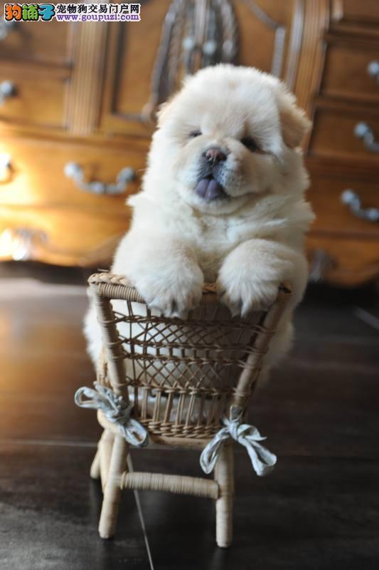 长沙哪里能买到纯种松狮犬 买卖松狮犬在什么地方