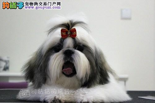 纯种 健康西施犬 实物拍摄照片 保纯种 健康