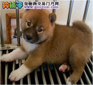 呼和浩特自家狗场繁殖直销柴犬幼犬欢迎您的光临