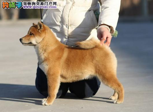 白山热销柴犬颜色齐全可见父母请您放心选购