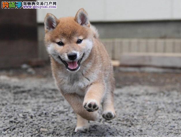 出售聪明伶俐西安柴犬品相极佳签订协议终身质保