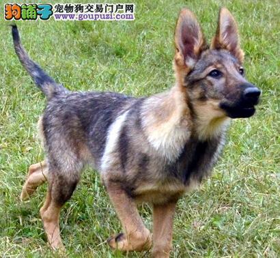 广东大型犬舍低价热卖极品昆明犬微信咨询看狗狗视频