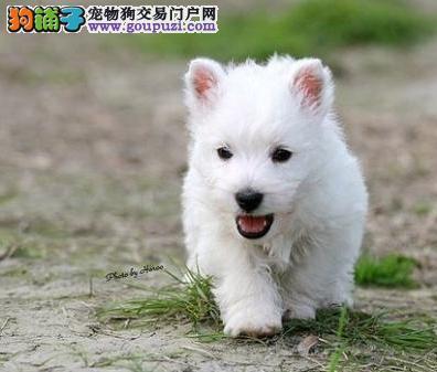 长春CKU认证犬舍出售高品质西高地价格美丽品质优良
