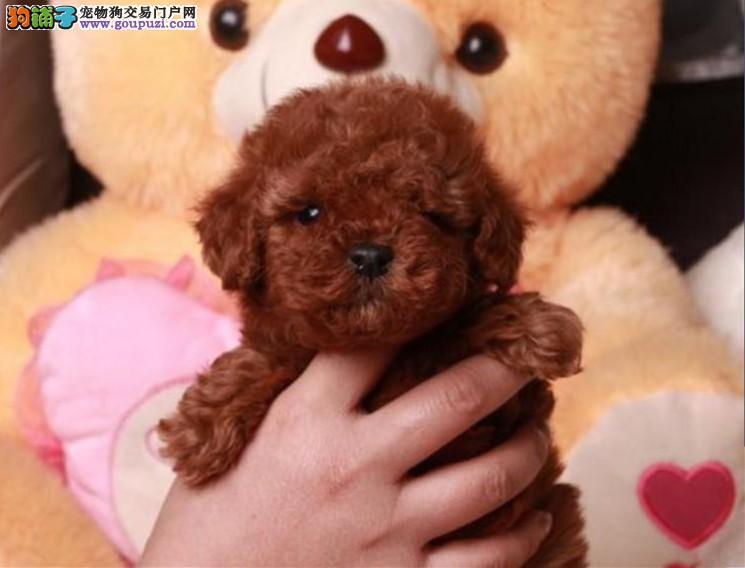 高品质的赛级泰迪幼犬出售了 疫苗做完 质量三包