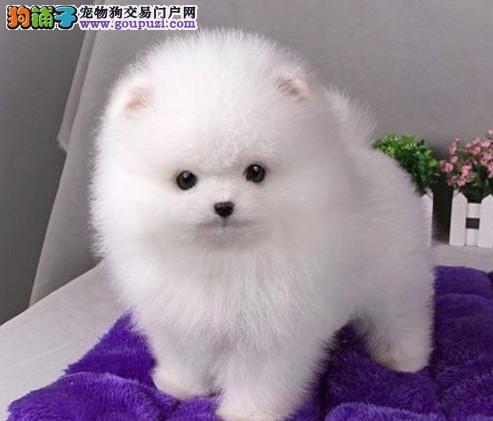 赛级博美幼犬预售中 驱虫 防疫已做完 健康有保障