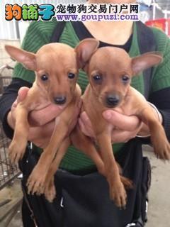 高品质 小鹿犬幼犬质量三包 完美售后