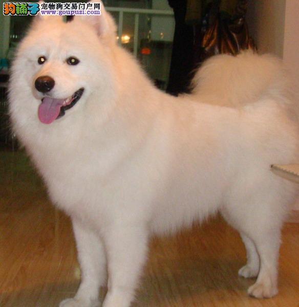 广州鹏威狗场特价直销各类宠物狗,大中小型名犬