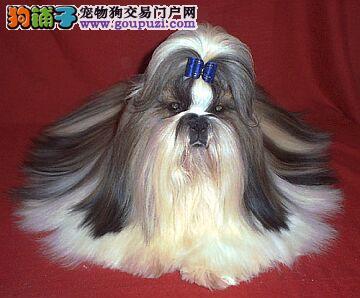 玩赏犬 伴侣犬 魅力气质纯种西施犬宝宝对外出售