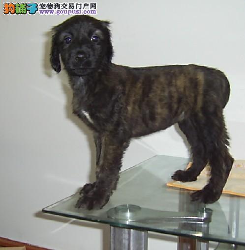 CKU认证犬舍 专业出售极品 阿富汗猎犬幼犬保障品质一流专业售后