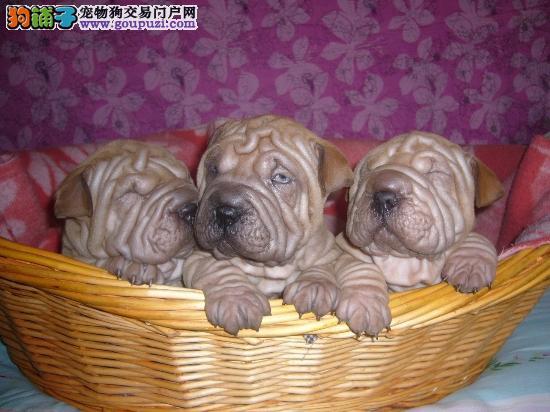 纯种高品质沙皮幼犬 。价格实惠 ,24小时营业