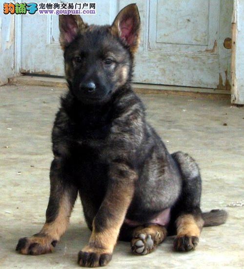 延安自家繁殖的纯种昆明犬找主人品质一流三包终身协议