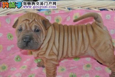 100%纯种健康的石家庄沙皮狗出售爱狗人士优先狗贩勿扰