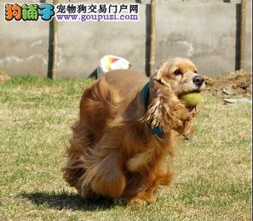 出售赛级品相可卡幼犬,保健康包纯种签质保