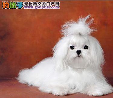 马尔济斯自贡CKU认证犬舍自繁自销送用品送狗粮