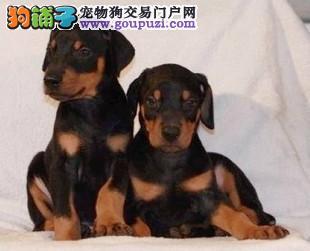 重庆正规犬舍高品质杜宾犬带证书支持全国空运发货