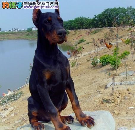 高品质杜宾犬转让 疫苗齐全包养活 购买保障售后